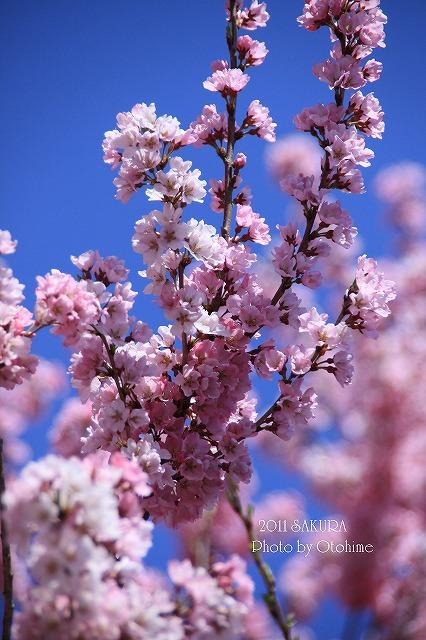 IMG_1659桜散歩