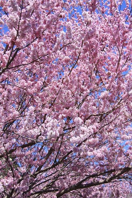 IMG_1662桜散歩