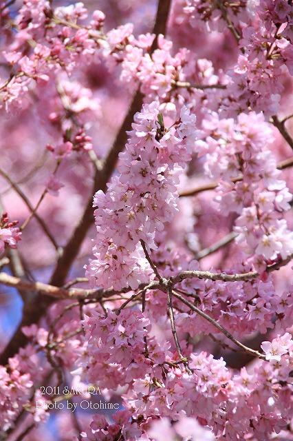 IMG_1664桜散歩