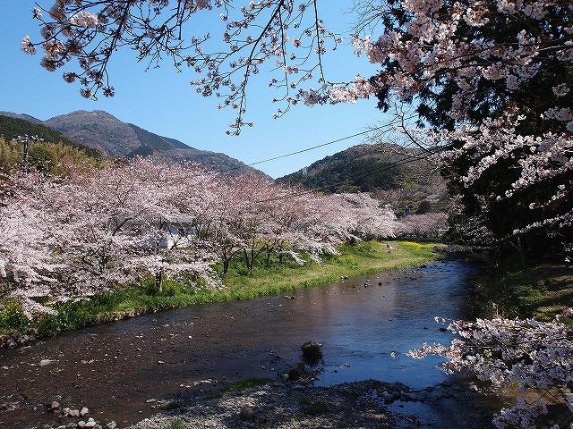 014大沢温泉の桜