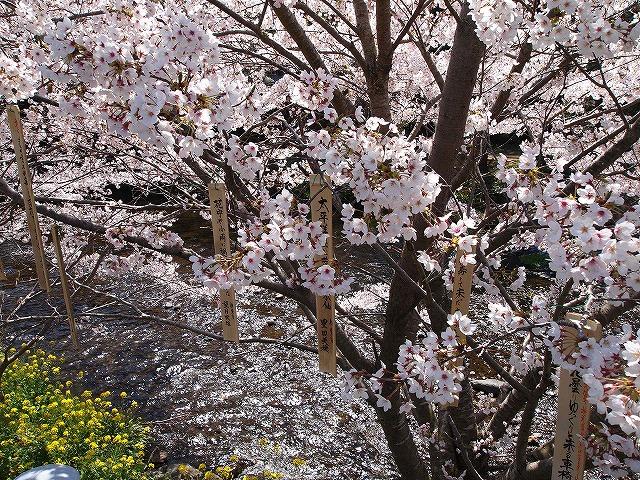 018大沢温泉の桜