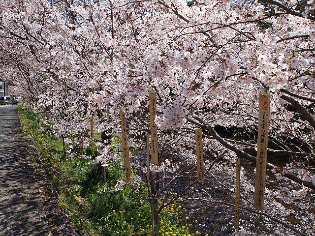 019大沢温泉の桜