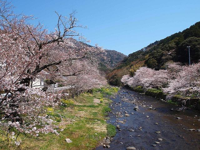 022大沢温泉の桜