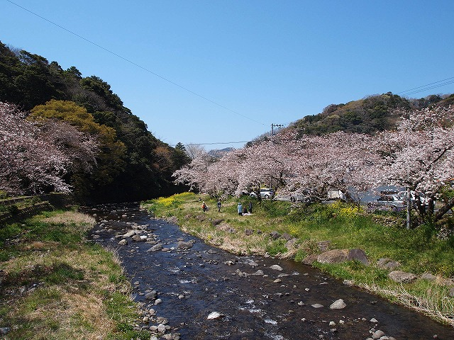 024大沢温泉の桜