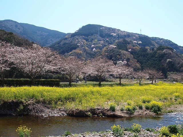 026松崎町の桜