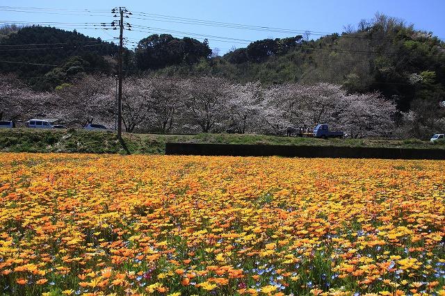 IMG_1732松崎花畑