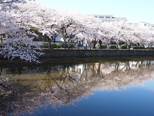 023小田原城の桜