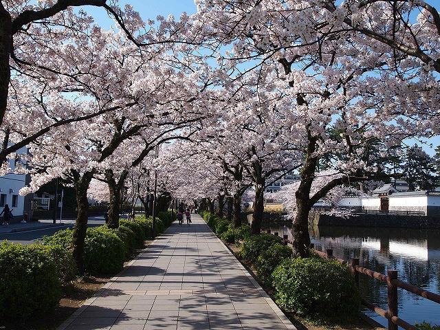 003小田原城の桜