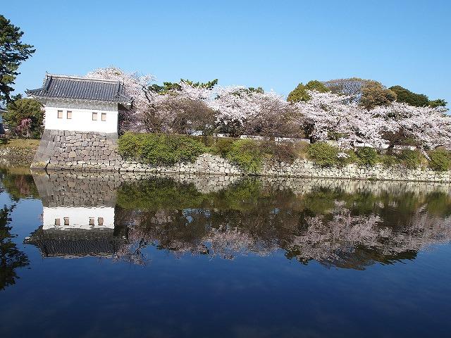 006小田原城の桜
