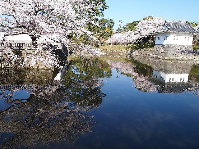 011小田原城の桜