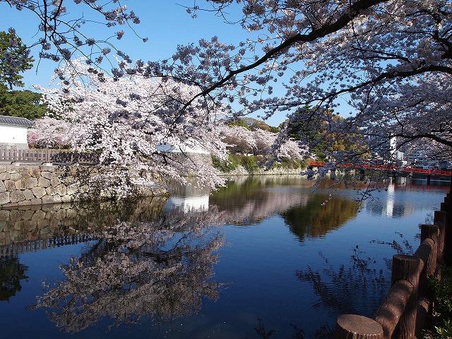 017小田原城の桜