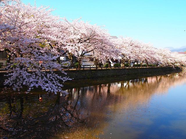 042小田原城の桜