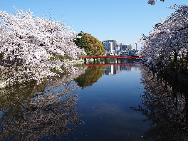 055小田原城の桜