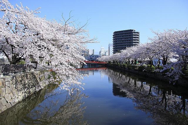 IMG_2040小田原城の桜