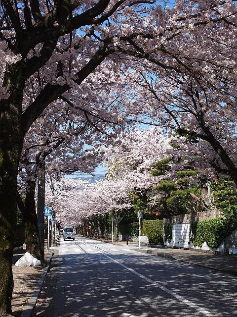 067住宅街の桜並木
