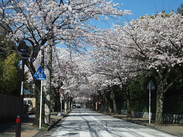 069住宅街の桜並木