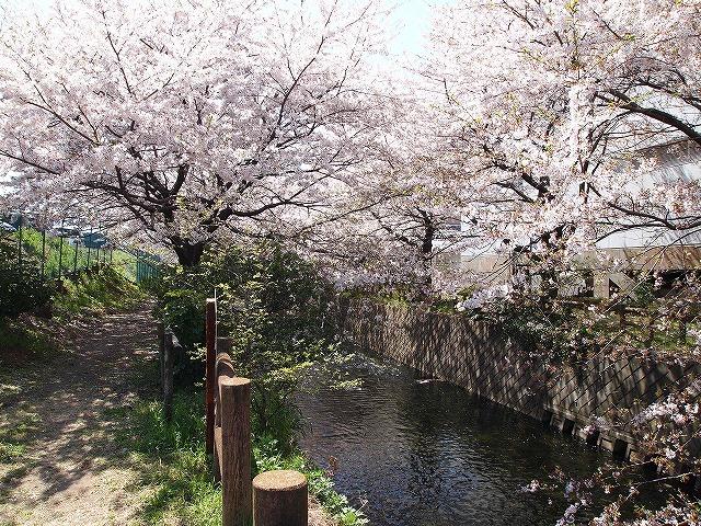 092川沿いの桜