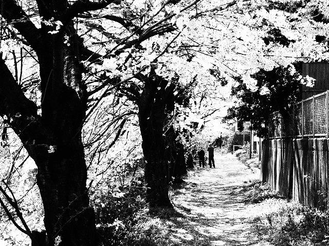 105桜並木の下で・・・