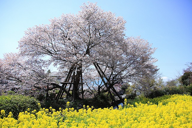 IMG_2468下馬桜