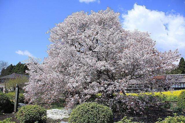 IMG_2473下馬桜