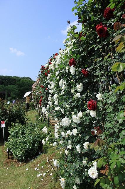 IMG_7830京成バラ園