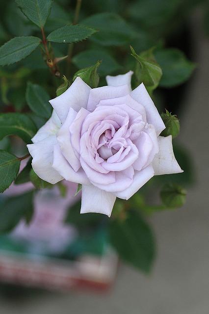 IMG_9670薔薇の海