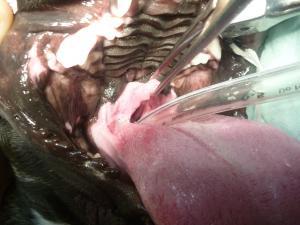 軟口蓋 過長 術前