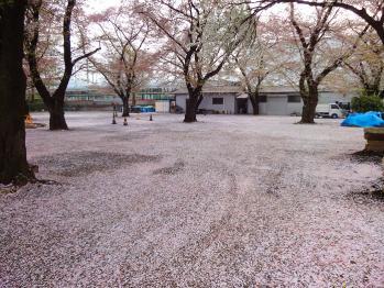 散歩がてら桜を撮影してきました。