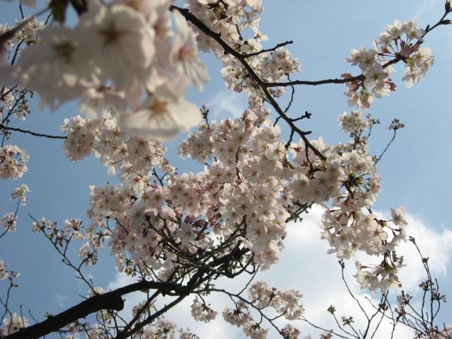 境内の桜も満開だった