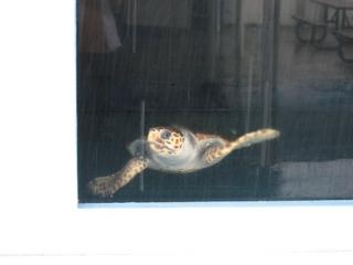 「ラッコ館」のウミガメ。外から写す