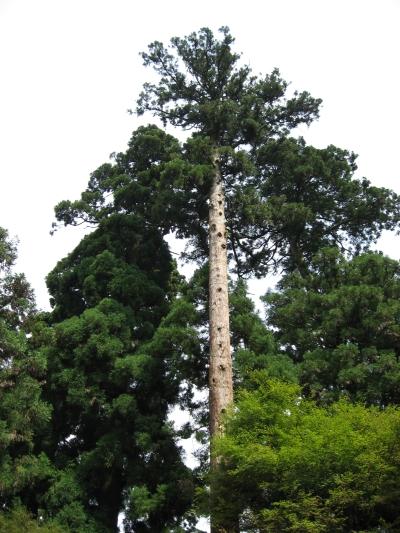 見事な大木、幹には雷避けの針金が巻かれている