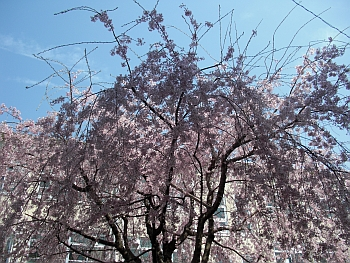 中学校のしだれ桜