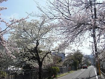疎水脇の桜