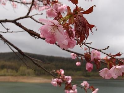 s-白金ダムの桜