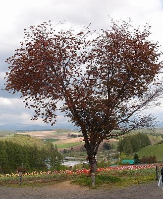 s-ハートの木は葉桜に、、、