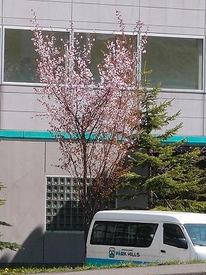 s-パークヒルズさんの桜