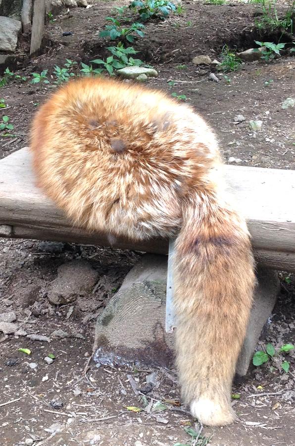 狐 に 包ま れる