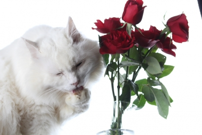days of the cat and roses1 resized