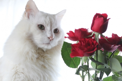 days of the cat and roses7 resized