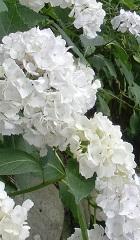 白紫陽花。