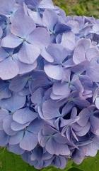 水紫陽花。