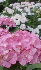 桃紫陽花。
