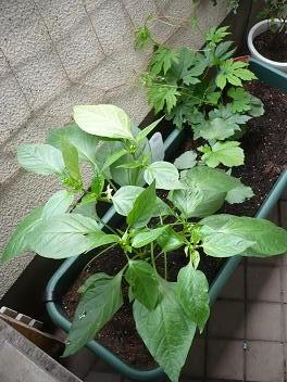 ベランダ菜園20120621