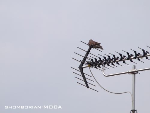 アンテナと鳩