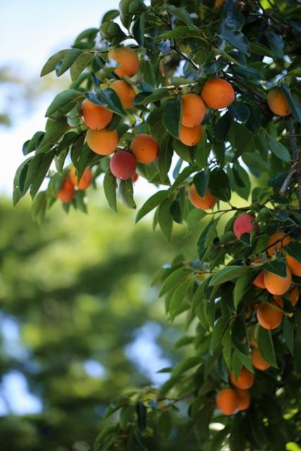 秋たわわ 色づく柿