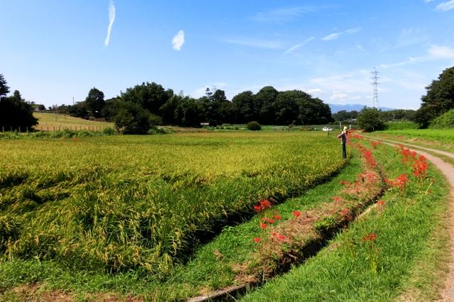 稲刈りま近かな田んぼ
