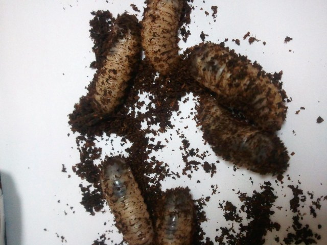Protaetia pryeri pryeri larva 001