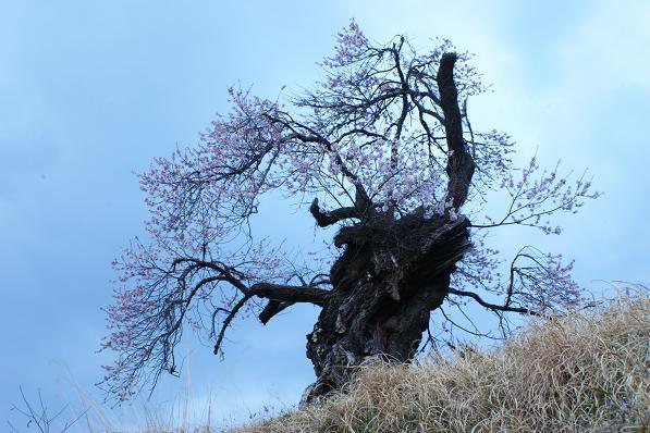 老木に会えた。