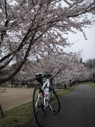 桜満開(2012年)