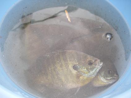 ブルーギル大漁
